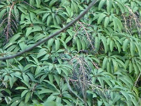 Schefflera fantsipanensis CHB06.VI14, jardin jungle karlostachys