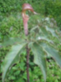 Arisaema nepenthoides, jardin jungle karlostachys, normandie
