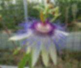 Passiflora 'jardin jungle 28', passiflore rustique