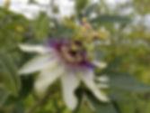 Passiflora 'jardin jungle 19', hybride de tacsonia rustique