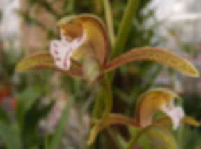 Cymbidium erythraeum, jardin jungle