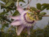 Passiflora 'jardin jungle 6', passiflore rustique