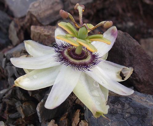 Passiflora sp new (urubi form) BBM19.BR222.j