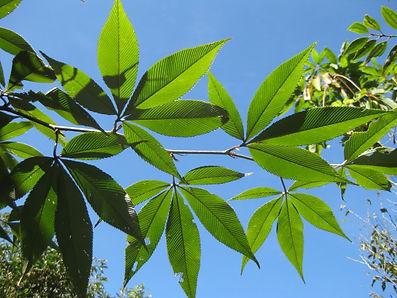 Rubus lineatus Vietnam CHB09.VI, jardin a visiter en normandie