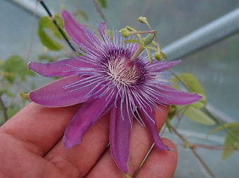 Passiflora 'Jardin Jungle 105',cold hardy passion flower