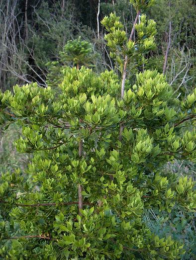 Phyllocladus asplenifolius, Jardin Jungle Karlostachys (Normandie)