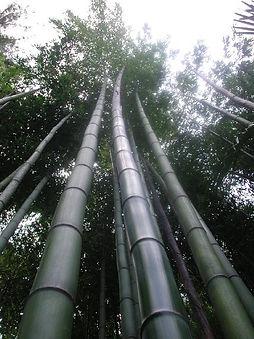 Phyllostachys vivax, jardin jungle karlostachys, normandie