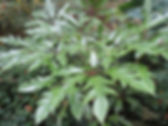 Schefflera rustique, jardin jungle, parc exotique