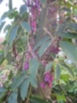Holboellia latifolia, jardin jungle karlostachys, normandie