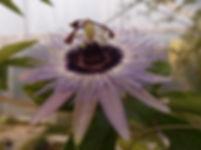 Passiflora 'jardin jungle 77'.JPG