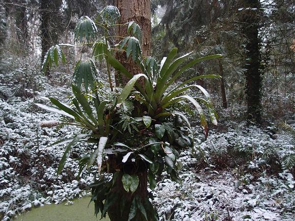 cold hardy bromeliad jardin jungle.JPG