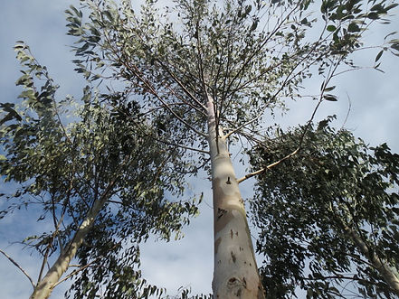 Eucalyptus delegatensis alpine form, eucalytus rustique, jardin jungle