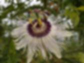 Passiflora 'jardin jungle 17', passiflora rustique