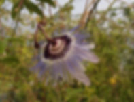 Passiflora 'jardin jungle 47'.JPG