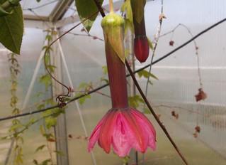 Passiflora luzmarina hyb