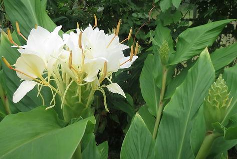 Hedychium 'Corelli', jardin jungle Karlostachys, jardin a visiter en haute Normandie