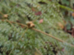 Monachosorum henryi CHB&MV15.CH117, Karlostachys Jungle Garden, exotic garden in Normandy