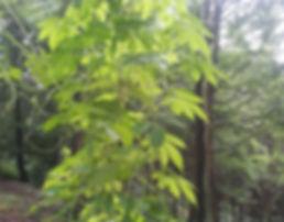 Gomphogyne cissiformis CHB13.CH008, jardin jungle, parc exotique en seine maritime