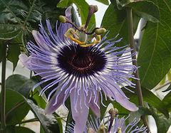 Passiflora 'jardin jungle 1'
