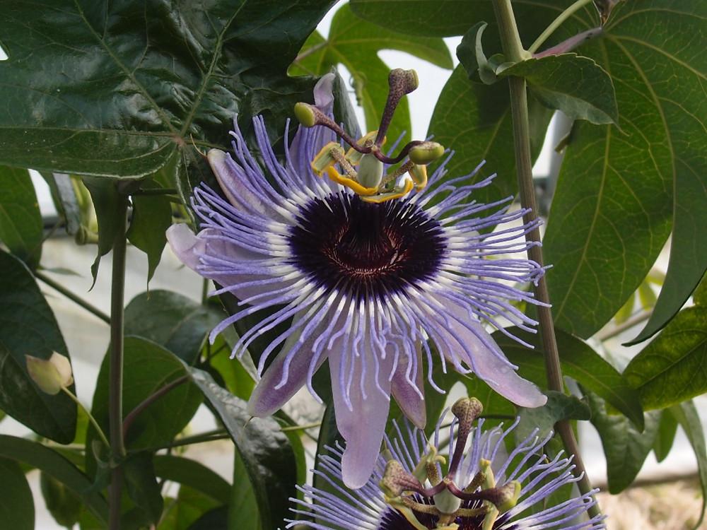 Passiflora hyb CHB15.X13F, hybride du jardin jungle