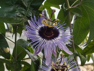 Passiflora hyb CHB15.X13E