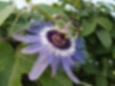 Passiflora 'jardin jungle 2', cold hardy passiflora