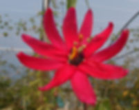 Passiflora 'jardin jungle 99' passiflore rouge du jardin jungle