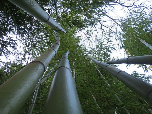 Bambous géant, jardin jungle