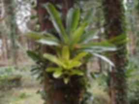 bromeliaceae rustique.JPG