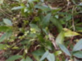 Hydrangea stylosa (Pianma) CHB14.CH22, jardin jungle karlostachys, parc exotique a visiter