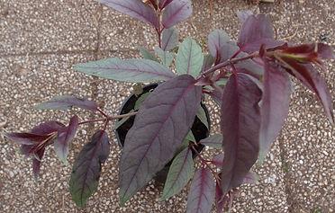 Fuchsia 'Jardin Jungle 2'.JPG