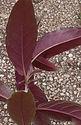 Fuchsia 'Jardin Jungle 2 verso _1.jpg
