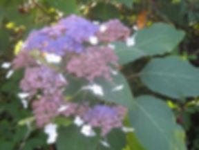 Hydrangea kawakamii, visit a garden in Normandy