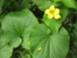 Thladiantha dubia, jardin jungle, eu, seine-maritime