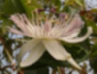 Passiflora 'jardin jungle 88' hybride du jardin jungle