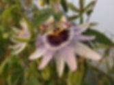 Passiflora 'jardin jungle 25' , passiflore très rustique