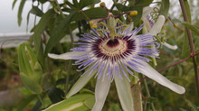 Passiflora 'jardin jungle 41'