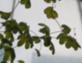 Lygodium palmatum, jardin jungle karlostachys, jardin a visiter en normandie