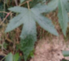 Rubus x 'Jardin Jungle 1', jardin jungle, Eu
