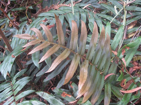 Blechnum wattsii CHB11.TAS, jardin jungle karlostachys, jardin a visiter en normandie
