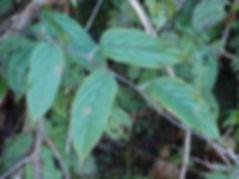Rubus sp Yunnan CHB13.CH41,karlostachys jungle karden, garden from normandy