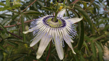 Passiflora 'jardin jungle 38'
