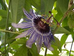 Passiflora hyb CHB15.X13E, Jardin Jungle, Normandie