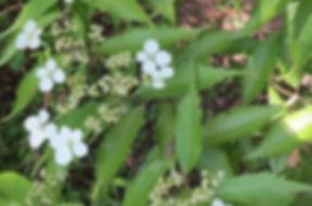 Hydrangea yakushimensis, Garden of Normandie, Karlostachys Jungle Garden