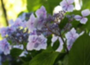 Hydrangea macrophylla 'Mariesii' (de belder), Jardin Jungle Karlostachys, jardin exotique a visiter en Normandie