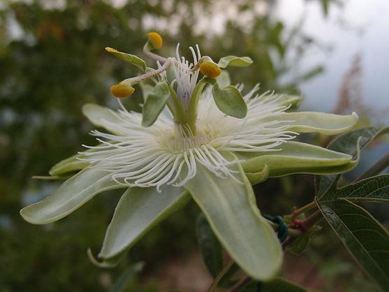 Passiflora 'jardin jungle 8', hybride de Tacsonia rustique