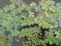 Marsilea quadrifolia, jardin jungle karlostachys