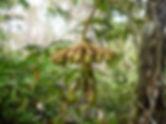expédition botanique Marcgravia coriacea, Roraima, Venezuela 2010