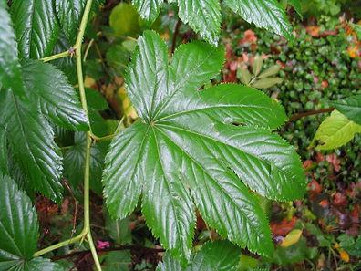 Rubus trifidus, jardin jungle karlostachys, parc exotique a visiter en haute normandie