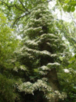 Hydrangea anomala petiolaris, hortensia grimpant au jardin jungle